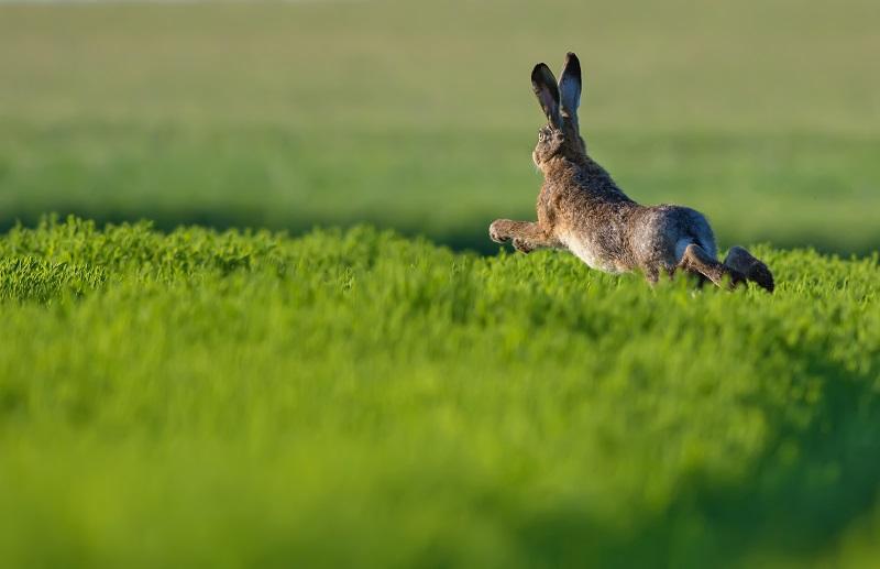 Der Hase galt lange als Symbol für Fruchtbarkeit, Zeugungskraft und für Jesu Christi